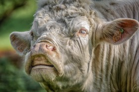 Stier - Bull