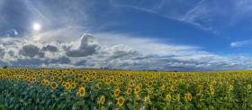 Sonnenblumenfeld - Field with Sunflowers