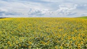 Sonnenblumenfeld von oben - Sunflowerfield from above