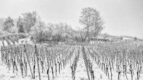 Snowshower in the vineyards