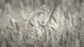 Gerste - Barley