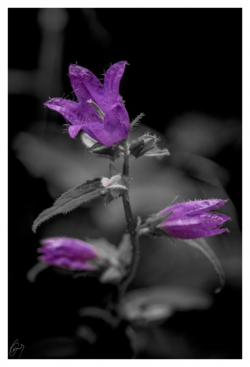 Glockenblumen - Campanula