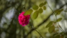Rose in der Hecke - Rose in the hedge