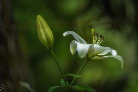 Weisse Lilie - Lilium candidum