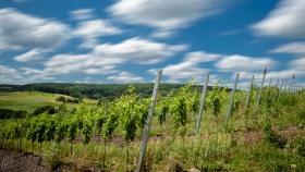 Weinberg - Vineyard