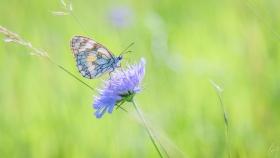Schachbrett Schmetterling - Melanargia galathea
