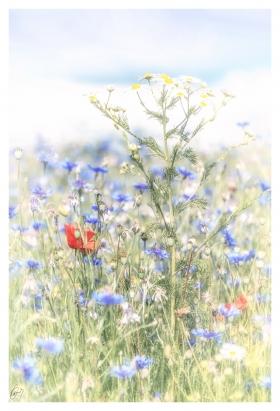 Blumenfeld - Flowerfield