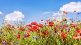 Blumenfeld mit Himmel - Field with Flowers and Sky