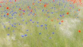 Blumenwiese - Flower Meadow