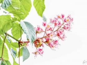 Kastanienblüte - Chestnut Blossom