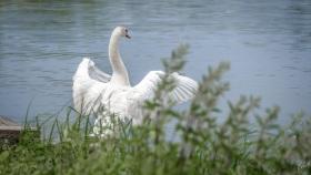 Schwan - Swan