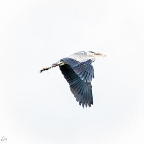 Reiher - Heron