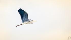 Reiher im Flug / Heron in flight