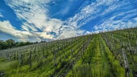 Weinberg im Mai - Vineyard in May