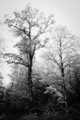 Wald in Schwarzweiss - Forest in black and white