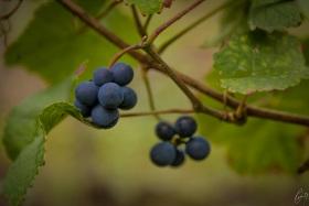 Trauben - Grapes