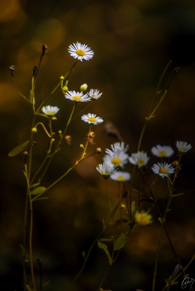 Gänseblümchen im Dunkeln
