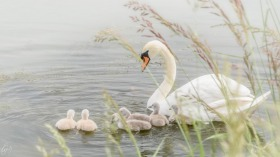 Mother Swan with offspring